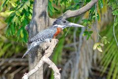 Bonte Ijsvogel bij de Chobe-Rivier die uit voor een beet kijken royalty-vrije stock afbeelding