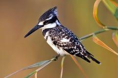 Bonte IJsvogel, Bonte Ijsvogel, Ceryle-rudis stock afbeeldingen