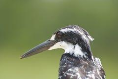 Bonte Ijsvogel (Ceryle-rudis) Royalty-vrije Stock Fotografie