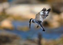 Bonte Ijsvogel die klaar om een duikvlucht te maken terwijl in medio lucht worden Stock Fotografie
