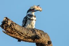 Bonte Ijsvogel, Kenia, Afrika royalty-vrije stock afbeeldingen