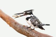 Bonte Ijsvogel met vissen Royalty-vrije Stock Foto's