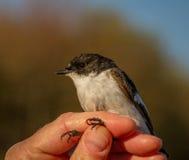 Bonte vliegenvanger, Ficedula-hypoleuca, mannelijke vogel in de hand van een vrouw voor vogel het verbinden Royalty-vrije Stock Afbeeldingen