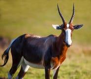 Bontebok羚羊 免版税库存图片