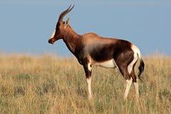 bontebok антилопы Стоковое фото RF