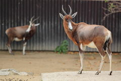 Bontebok Foto de Stock Royalty Free