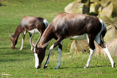 Bontebok Royalty Free Stock Images