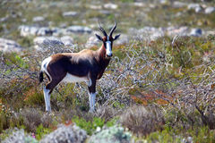 Bontebok Royalty Free Stock Photo