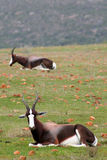 Bontebok photographie stock