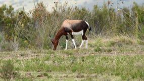 Bontebok alla riserva di Boteilieskop fotografie stock libere da diritti