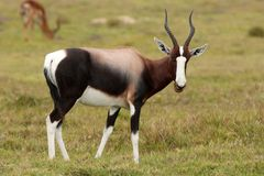 Bontebok Antelope Royalty Free Stock Images