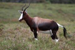 Bontebok Antelope Stock Image