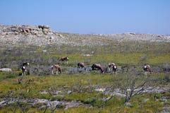 Bontebok antelope Royalty Free Stock Photos