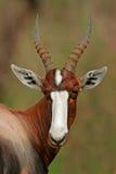Bontebok antelope. Portrait of an endangered bontebok antelope (Damaliscus pygargus dorcas), South Africa stock photo