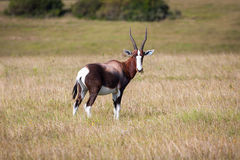Bontebok antelope Royalty Free Stock Photography