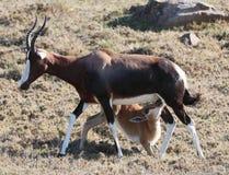 Bontebok Antelope Baby Stock Images