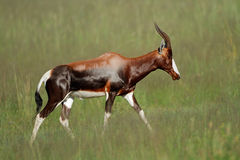 Bontebok antelope Stock Photos