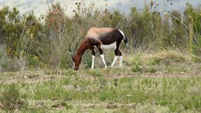 Bontebok at Boteilieskop Reserve royalty free stock photos