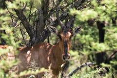 Bontebok antelope Royalty Free Stock Photo