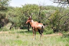 Bontebok antelope Royalty Free Stock Images