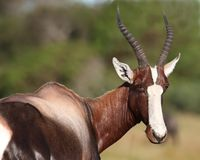Bontebok Antelope Portrait Royalty Free Stock Photos