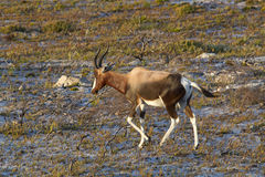Bontebok antelope running Royalty Free Stock Images