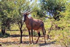 Bontebok antelope Stock Photography