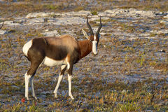 Bontebok antelope Royalty Free Stock Photo