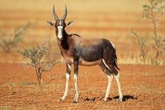 Bontebok antilop Arkivbild