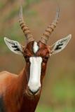 Bontebok Antilope lizenzfreies stockfoto