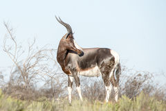 Bontebok Royalty Free Stock Photo