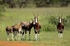 Bontebok-Antilopen Stockbilder