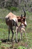 Bontebok Baby Antelope Royalty Free Stock Images