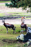 Bontebok. A Bontebok / Blesbuck poses during a safari Stock Image