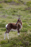 Bontebok calf Royalty Free Stock Photo
