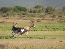 Bontebok chase Royalty Free Stock Images