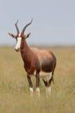 Bontebok (Damaliscus dorcas) Stockfotografie