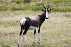 Bontebok, Bontebok, Damaliscus pygargus royalty free stock image
