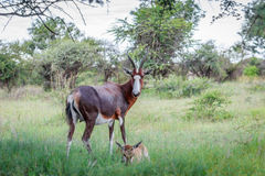 Bontebok  Damaliscus pygargus  and calf Royalty Free Stock Image