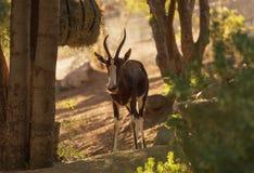 Bontebok, Damaliscus pygargus Stock Photos