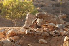Bontebok, Damaliscus pygargus Royalty Free Stock Photos