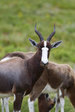 Bontebok Royalty Free Stock Image