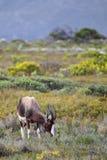 Bontebok (Damaliscus pygargus) Stock Image