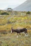 Bontebok (Damaliscus pygargus) Royalty Free Stock Photo