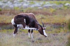 Bontebok (Damaliscus pygargus) Royalty Free Stock Images