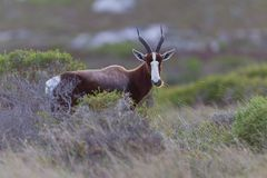 Bontebok (damaliscusdorcas) Royalty-vrije Stock Fotografie