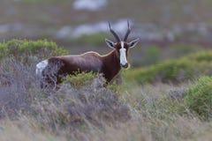 Bontebok (damaliscusdorcas) Royalty-vrije Stock Fotografie