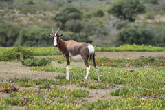 Bontebok in De hoop nature reserve Stock Photo
