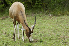 Bontebok grazing Royalty Free Stock Photo