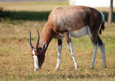 Bontebok grazing Royalty Free Stock Photography